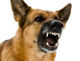 aggressive dog instructor