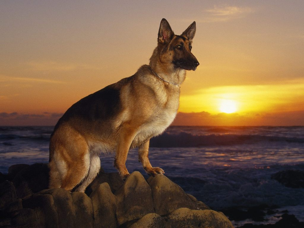 train german shepherd