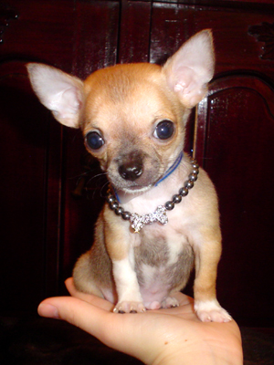 Chihuahua Obedience Training