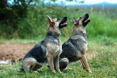 aming your German shepherd